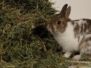 Rabbithay