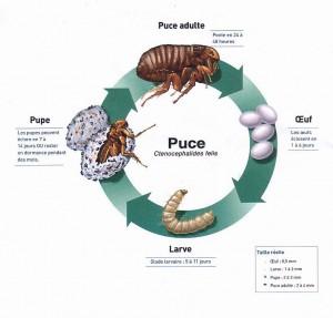 95% des puces sont dans l'environnement et non sur l'animal, il n'est donc pas rare de ne pas trouver de puce sur un animal qui se fait dévorer.