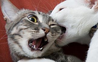 morsure entre chat