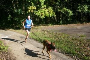Galipette la sportive chienne Berger Malinois en pleine séance de canicross.